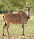 Livingstone Elande
